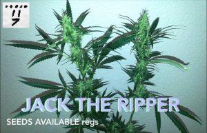 Buy Jack The Ripper Marijuana